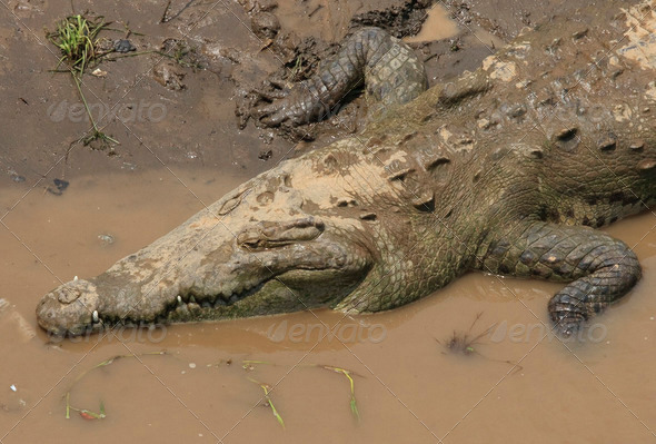 Big American crocodile - Stock Photo - Images