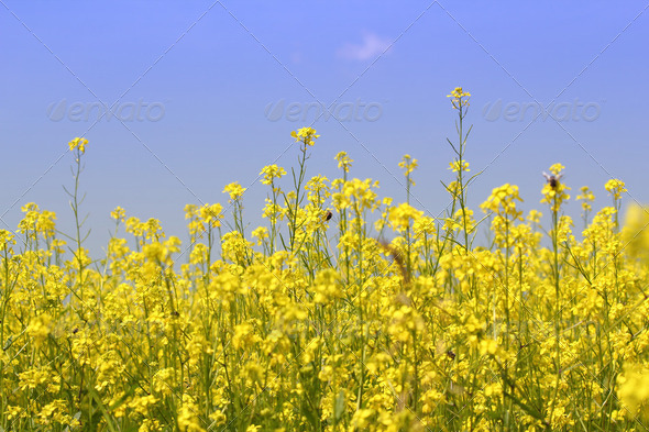 Yellow flowers field - Stock Photo - Images