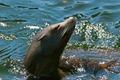 Sea Lion - PhotoDune Item for Sale