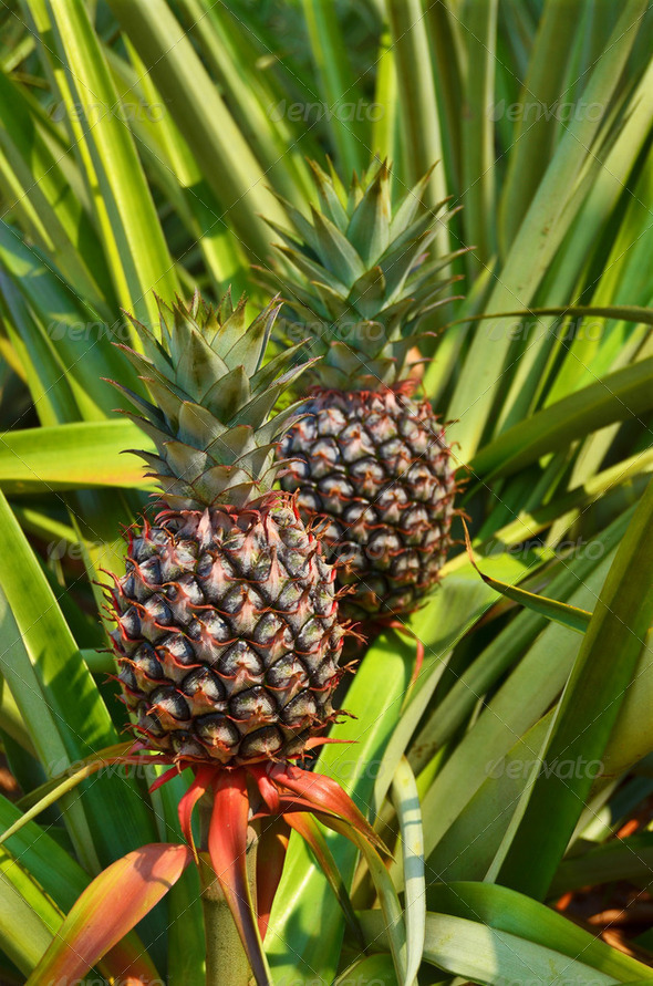 Fresh Pineapple in farm , Tropical fruits - Stock Photo - Images