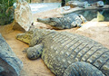 Crocodiles - PhotoDune Item for Sale