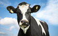 Cow Against Blue Sky - PhotoDune Item for Sale