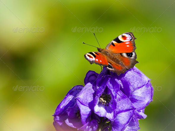 Inachis Io butterfly - Stock Photo - Images