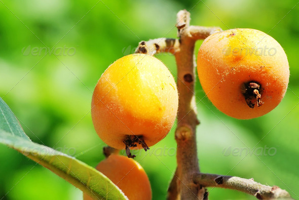 loquats hanging on a branch - Stock Photo - Images