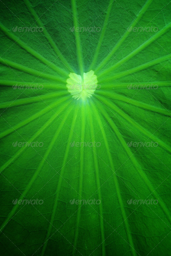 Lotus leaf - Stock Photo - Images