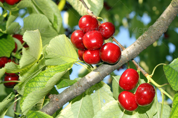 red, ripe cherries hanging from a branch in the summer sun - Stock Photo - Images