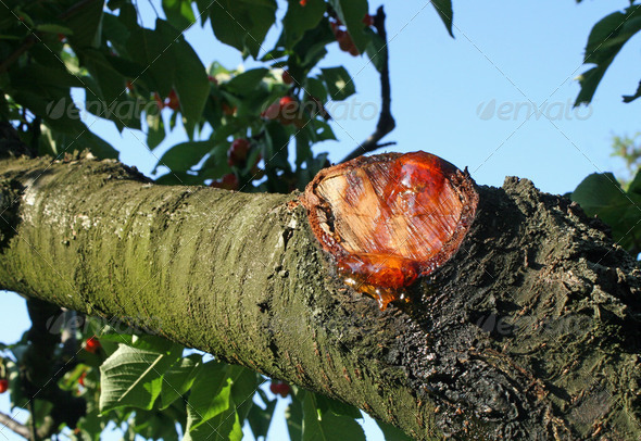 branch cut with the resin seeping from the wound - Stock Photo - Images
