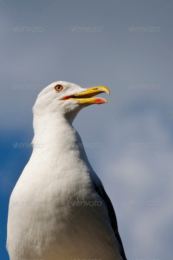 Seagull standing - Stock Photo - Images