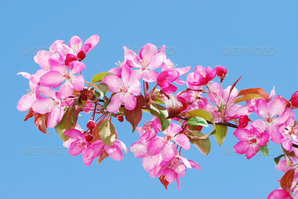 Apple blossoms - Stock Photo - Images