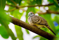 Zebra Dove - PhotoDune Item for Sale