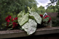HDR Caladium and Begonia - PhotoDune Item for Sale