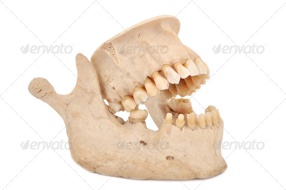 human jaw - Stock Photo - Images