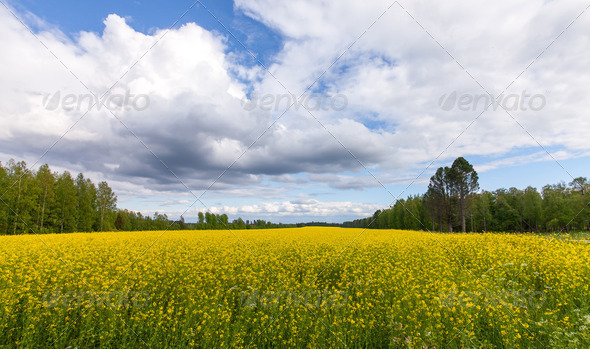 Field of Bright Yellow rapeseed in front of a forest - Stock Photo - Images