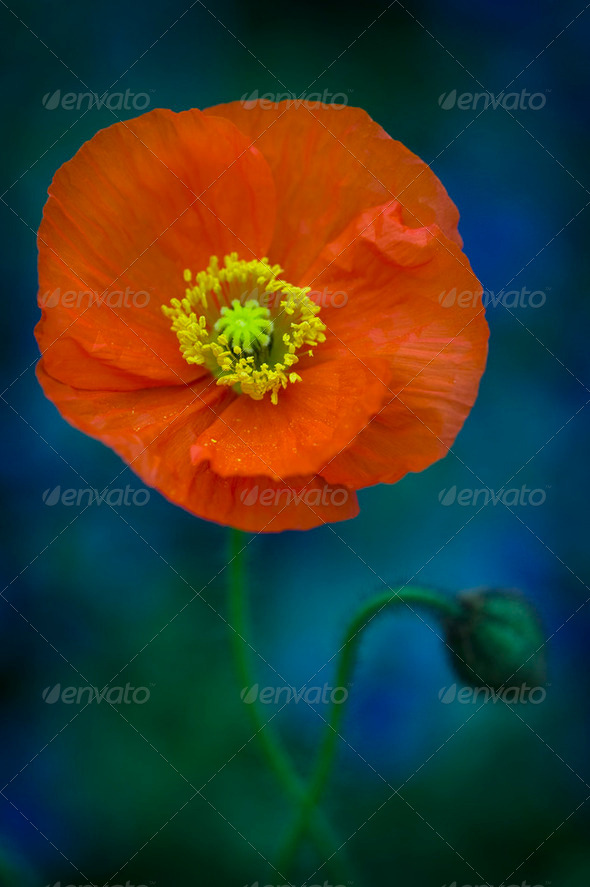 orange poppy in flower - Stock Photo - Images