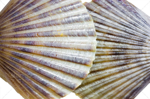 Scallop seashells - Stock Photo - Images