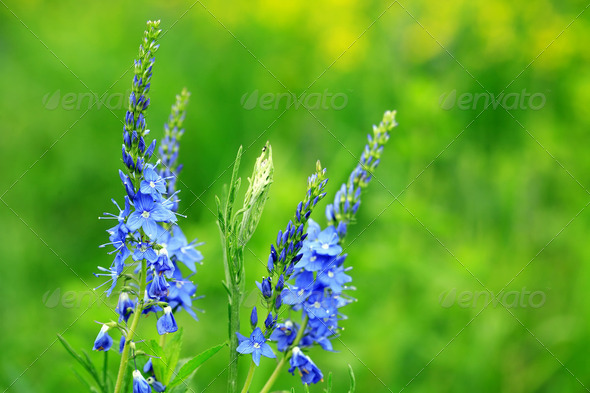 Blue Wildflowers - Stock Photo - Images