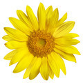 sunflower isolated on white - PhotoDune Item for Sale