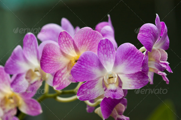 beautiful purple orchid - Stock Photo - Images