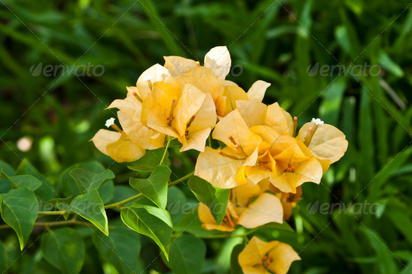 a bunch of bougainvillea - Stock Photo - Images