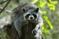 Raccoon - PhotoDune Item for Sale