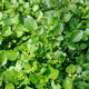 Water cress - PhotoDune Item for Sale