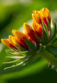 Gaillardia Aristata - PhotoDune Item for Sale