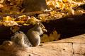 Squirrel - PhotoDune Item for Sale