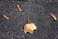 Maple Leaf On Blacktop - PhotoDune Item for Sale