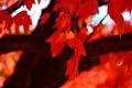 Sugar Maple Leaves - PhotoDune Item for Sale