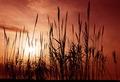 Silhouettes of reeds - PhotoDune Item for Sale