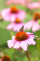 Butterfly on coneflower - PhotoDune Item for Sale