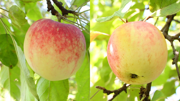 Apple On The Tree 2 Videos  VideoHive Stock Footage  Nature 3374557