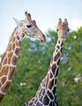 glamorous giraffes - PhotoDune Item for Sale
