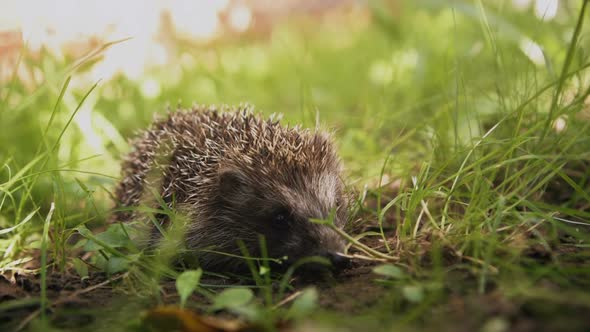 Download Cute prickly hedgehog in the grass nulled download
