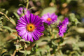 aster in nature - PhotoDune Item for Sale