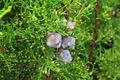 Cedar Acorn - PhotoDune Item for Sale