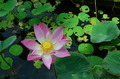 Pink Lotus Water Garden Bali 3 - PhotoDune Item for Sale