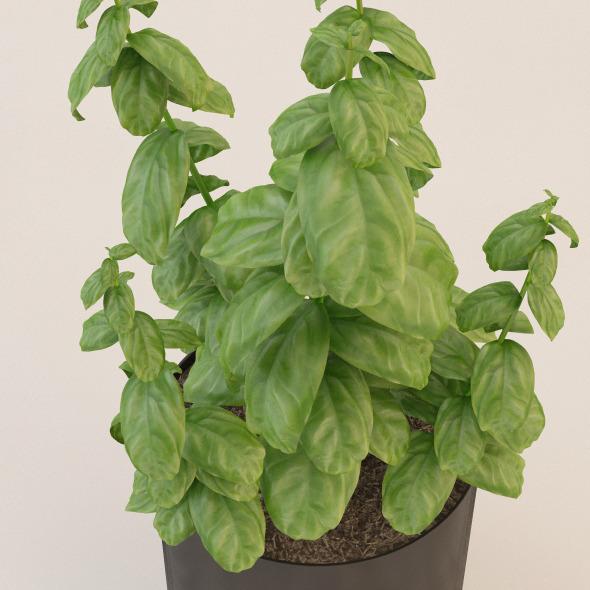 3DOcean Photorealistic Basil Plant 3396752