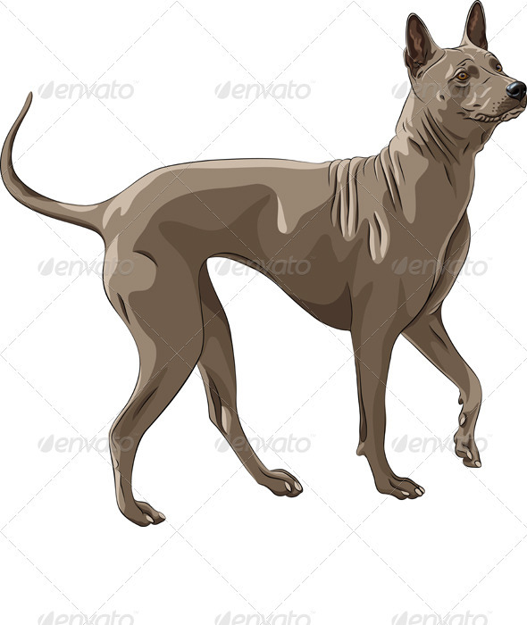 Vector Color Sketch Thai Ridgeback Dog Breed Runs - Animals Characters