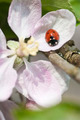 Ladybird on blossom - PhotoDune Item for Sale
