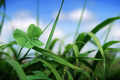 Four leaf clover in grass - PhotoDune Item for Sale