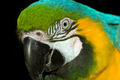Macaw portrait - PhotoDune Item for Sale