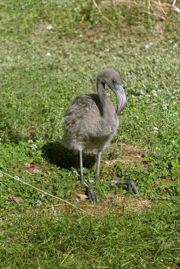 Flamingo Baby - Stock Photo - Images