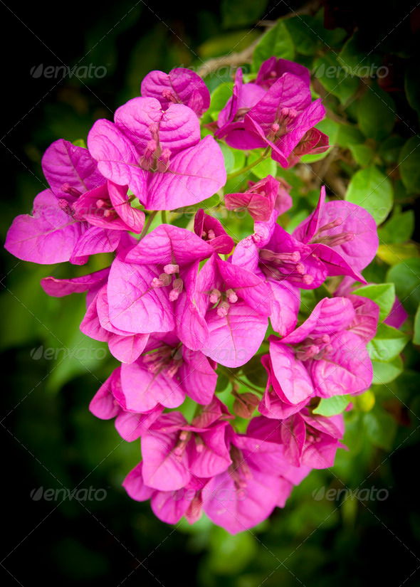 Bougainvillea Flowers - Stock Photo - Images