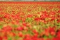 Red Flowers Field - PhotoDune Item for Sale