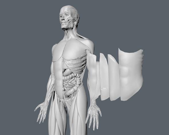 3DOcean Complete Human Anatomy 3456078