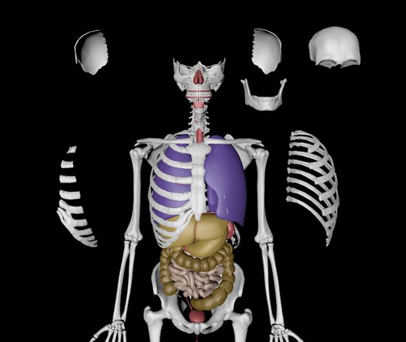 3DOcean Human Anatomy Skeleton With Organs 3456108