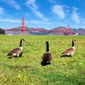 gooses of the bridge