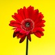 Photodune-1054491-gerbera-flower-xs