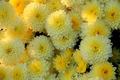 Yellow White Flowers - PhotoDune Item for Sale